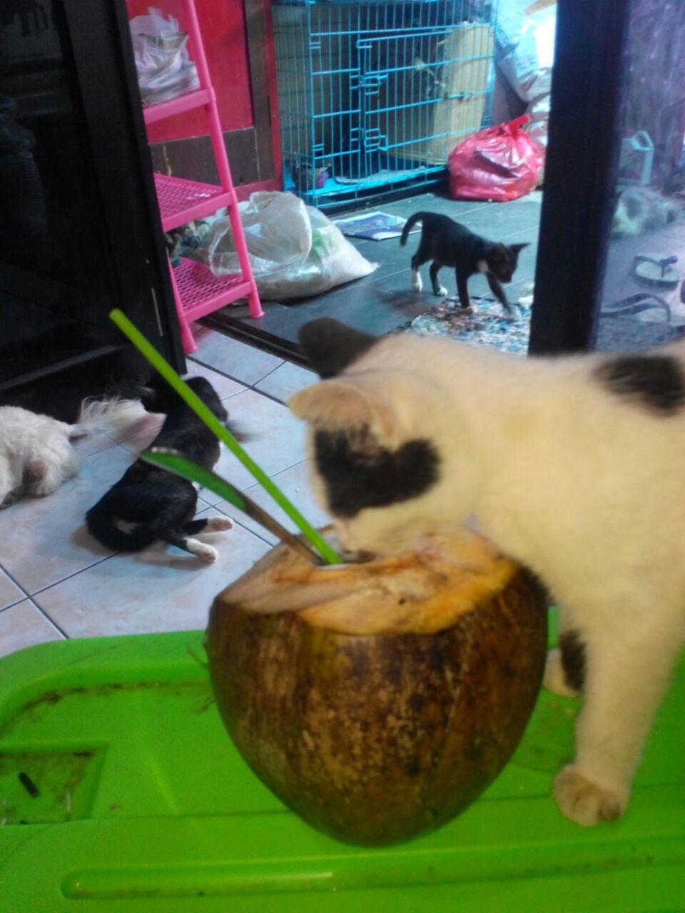 Sapi minum kelapa